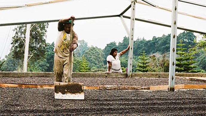 Verve Coffee farmers organic beans